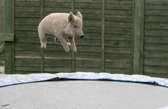 Paršiukas šokinėja ant tramplino