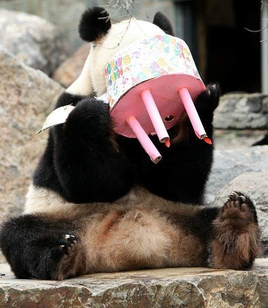 Panda švenčia gimtadienį