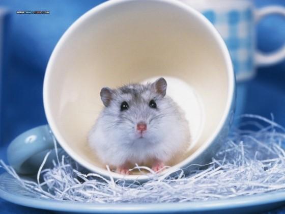 Mielas žiurkėnas