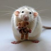 Žiurkė su pliušiniu meškučiu