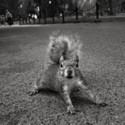 Įsitempęs voveriukas