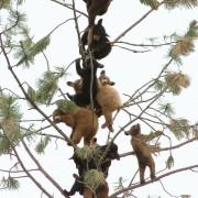 meškiukų medis