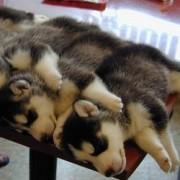 šuniukai